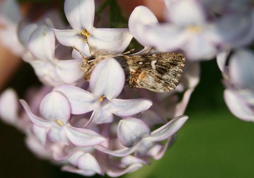 Calophasia lunula - Toadflax Brocade - Hodges#10177