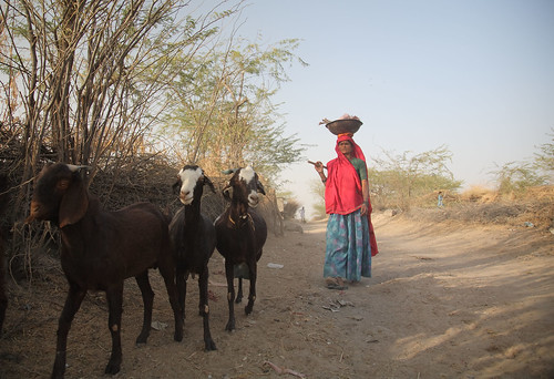Women herding goats in Rajasthan, India