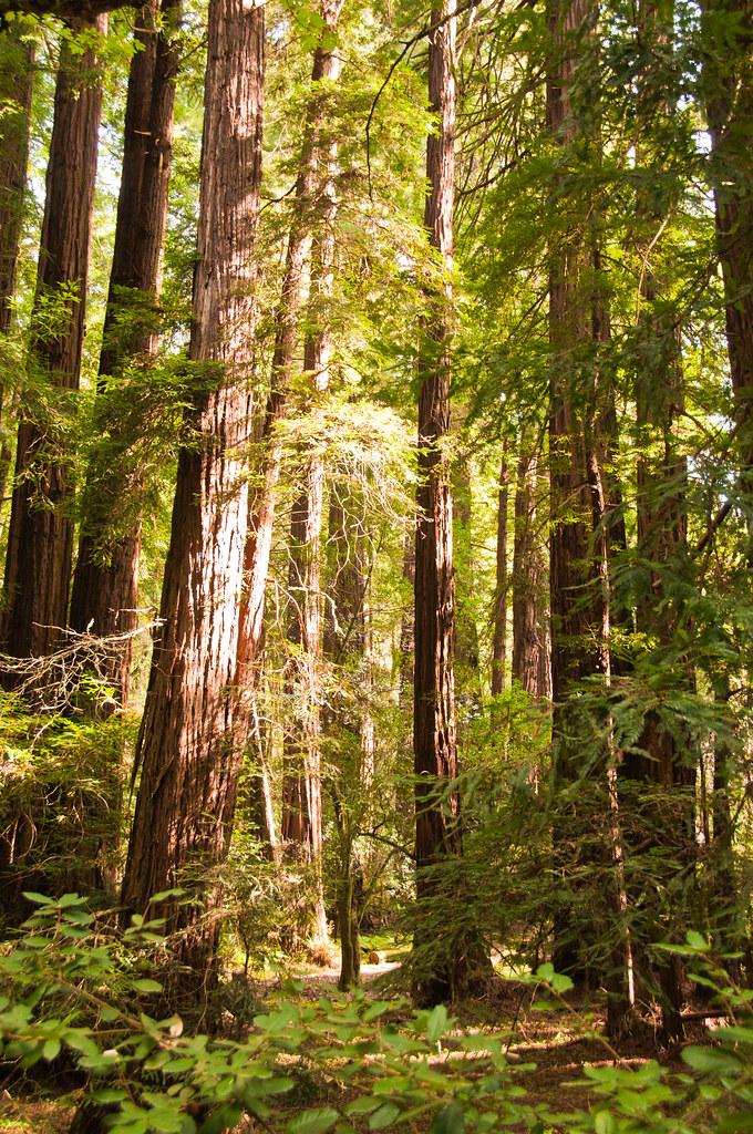 Coastal Redwoods in Muir Woods