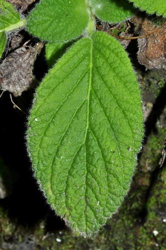 Boea hygroscopica