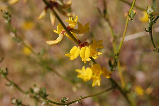 Lotus scoparius var. scoparius - Deerweed