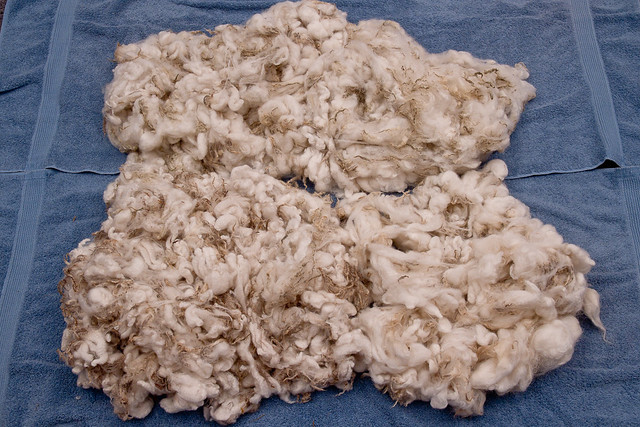 Thing a Week #11: Cheviot / Clun Forest Fleece