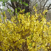 yellowbush