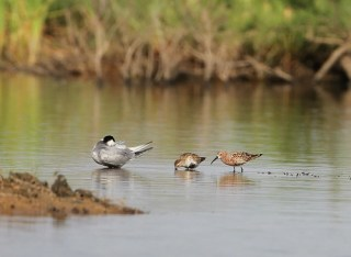2011_05_04 PO - Dunlin and Curlew Sandpiper 14 by Mike at Sea