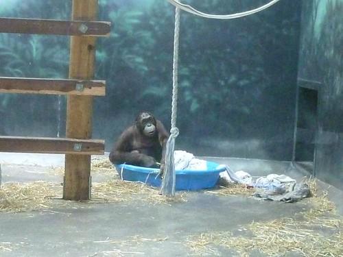 WI, Madison Zoo 4 - Chimpanzee playing