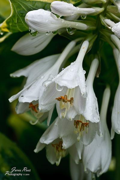 A rare, short lived hosta bloom.