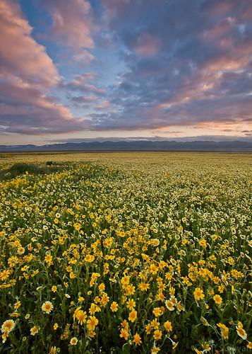 carrizo plain wildflowers 2020