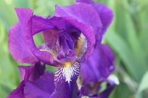 20110410_1441_purple-iris