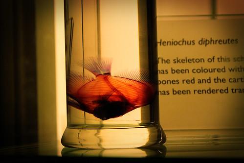 Heniochus-diphreutes-Natural-History-Museum