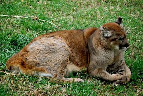 Big Cougar