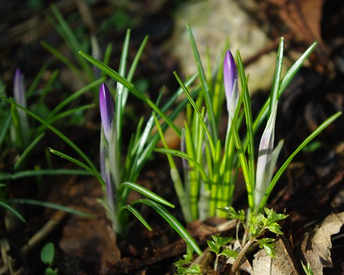 20100220-15_Crocus buds near Wolston community centre by gary.hadden