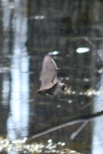 brown bat, prob. Myotis sp.