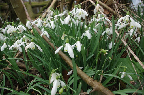 20110227-19_Snowdrops at Wyegate Green by gary.hadden