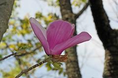 自然環境保全センターのモクレン(Magnolia, Nature Preservation Center, Kanagawa, Japan)