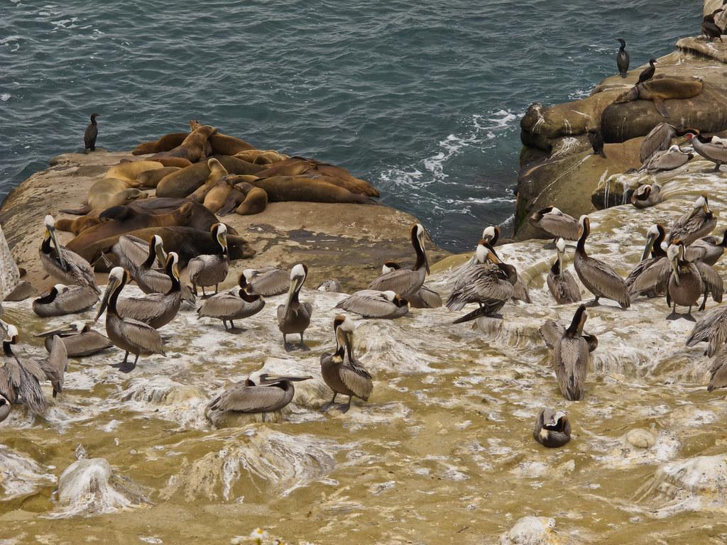 Seals and pelicans on the San Diegan shore