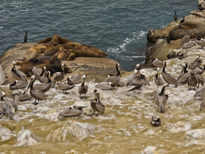 Seals and pelicans on the San Diegan shore