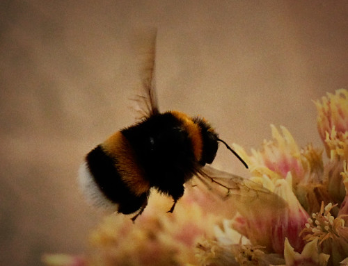 Close-up-on-bumblebee