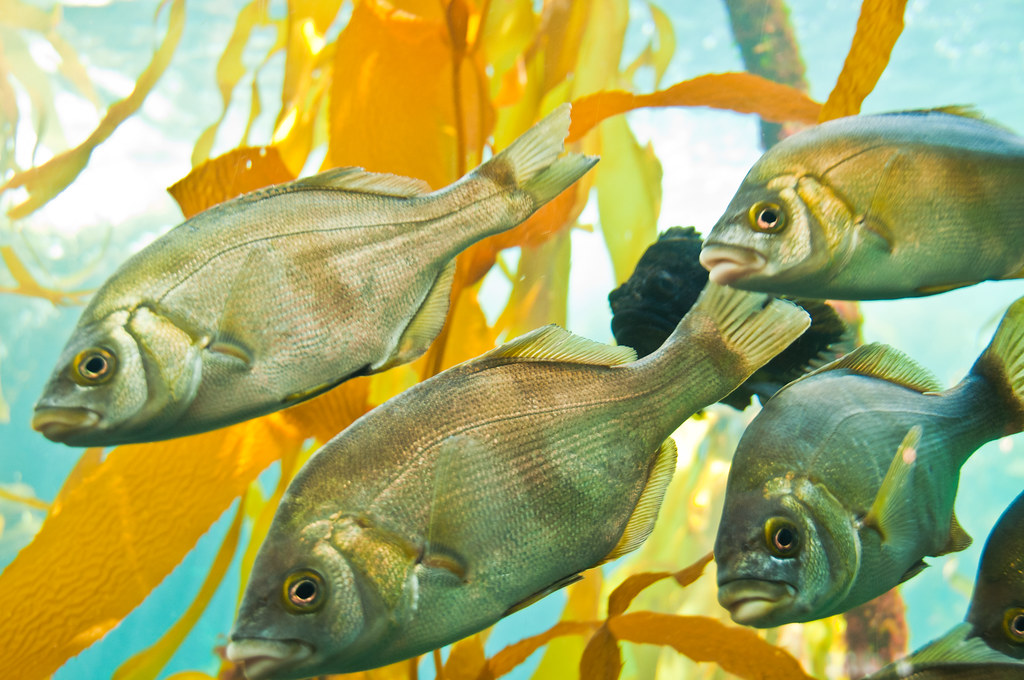 Fish from the kelp forest