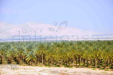 palmieri - curmali