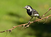 Wagtail by claryelle-swe