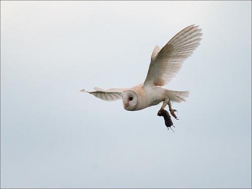 Barn Owl with captured prey_3