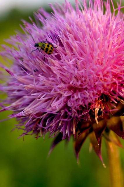 Thistle and Bug