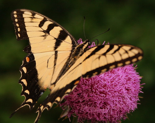 Butterfly on Thistle 2