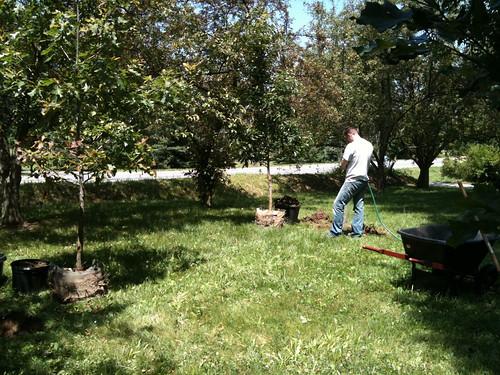 New oak trees