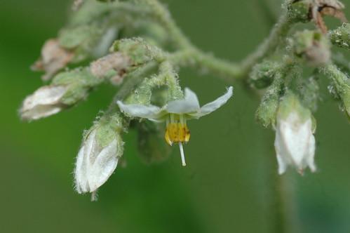 TBI Solanum