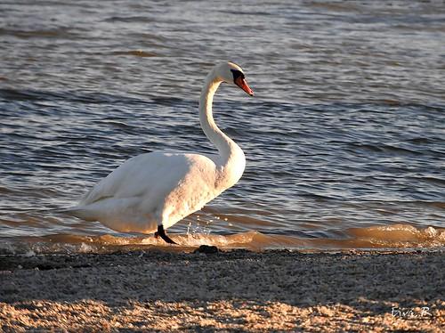 Lake Eventide , Swan Tó Napszállta Hattyú