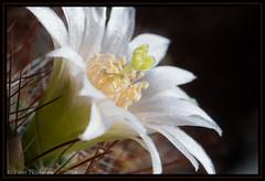 "Kaktusblüte • <a style=""font-size:0.8em;"" href=""http://www.flickr.com/photos/58574596@N06/8767427736/"" target=""_blank"">View on Flickr</a>"