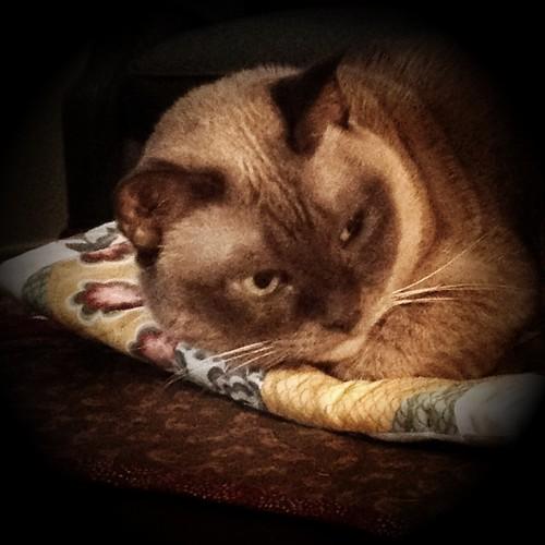 cat kitty tonkinese button (Photo: CASharp on Flickr)