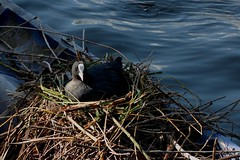 Eurasian coot on nest