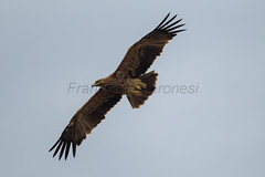 Imperial Eagle - Kazakistan_S4E1623