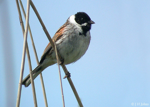 "Reed Bunting (J H Johns) • <a style=""font-size:0.8em;"" href=""http://www.flickr.com/photos/30837261@N07/10722741975/"" target=""_blank"">View on Flickr</a>"