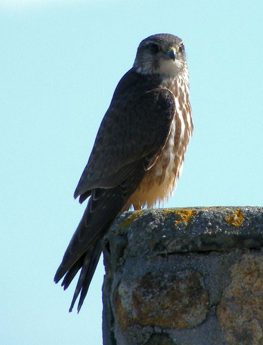 "Merlin 2 • <a style=""font-size:0.8em;"" href=""http://www.flickr.com/photos/30837261@N07/10722423885/"" target=""_blank"">View on Flickr</a>"