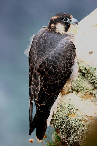 "Peregrine 3 • <a style=""font-size:0.8em;"" href=""http://www.flickr.com/photos/30837261@N07/10722512294/"" target=""_blank"">View on Flickr</a>"