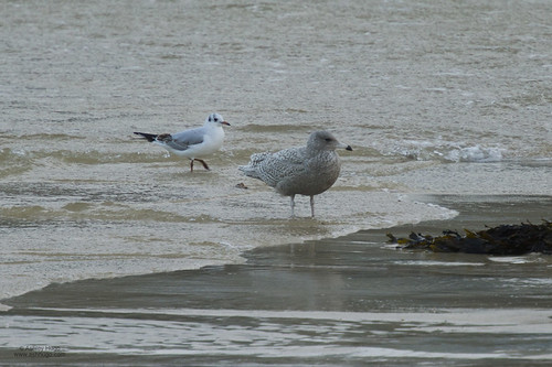 """Glaucous Gull, St Ives, 25.01.14 (A.Hugo) • <a style=""""font-size:0.8em;"""" href=""""http://www.flickr.com/photos/30837261@N07/12153518446/"""" target=""""_blank"""">View on Flickr</a>"""