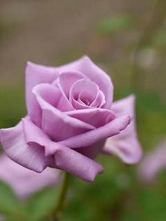 Rose, RT96138, バラ, RT96138,