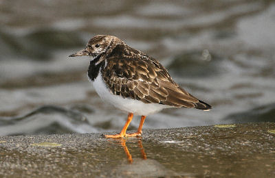 "Turnstone • <a style=""font-size:0.8em;"" href=""http://www.flickr.com/photos/30837261@N07/10723277766/"" target=""_blank"">View on Flickr</a>"