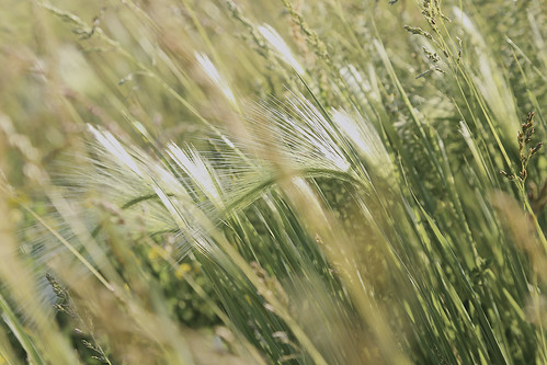 foxtail barley definition/meaning | English picture dictionary Imagict