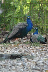 "Peacocks • <a style=""font-size:0.8em;"" href=""http://www.flickr.com/photos/72892197@N03/15274502379/"" target=""_blank"">View on Flickr</a>"