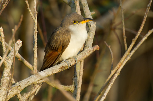 "Yellow-billed Cuckoo, Porthgwarra, 24.10.14 (A.Hugo) • <a style=""font-size:0.8em;"" href=""http://www.flickr.com/photos/30837261@N07/15431531357/"" target=""_blank"">View on Flickr</a>"