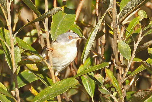 """Eastern:Moltoni's Subalpine Warbler, Porthgwarra, 17.10.14 G.Willetts • <a style=""""font-size:0.8em;"""" href=""""http://www.flickr.com/photos/30837261@N07/14960948853/"""" target=""""_blank"""">View on Flickr</a>"""