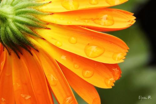 (Calendula officinalis)Esőcseppek Az orvosi körömvirág