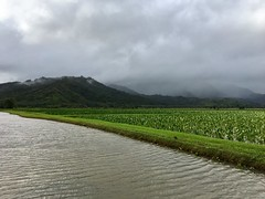 A taro farm