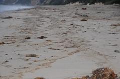 Oiled strand line Summerland 08-22-15s