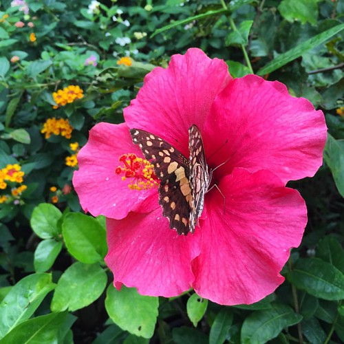 #Butterfly I  @ #ChangMai #Thailand  #thailoup #traveloup