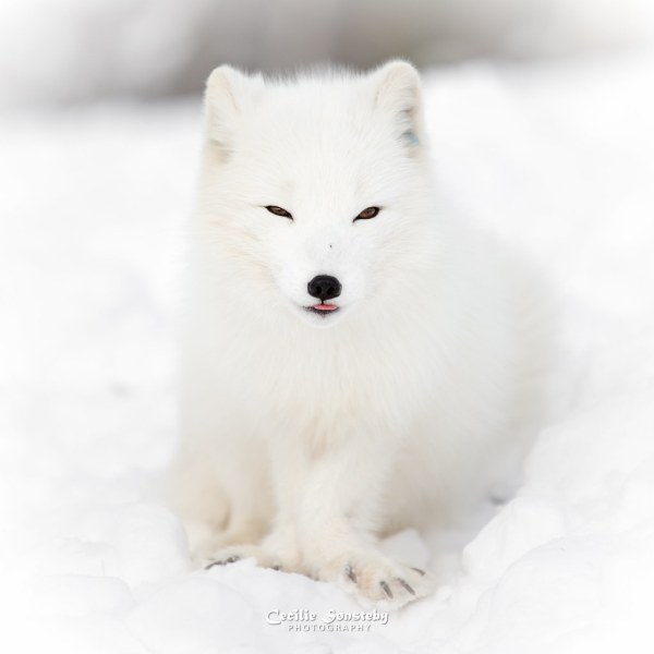 Arctic Fox Endangered