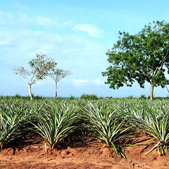 Where pineapples grow. #theworldwalk #travel #mexico